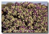 solanum-lasiophyllum-pm-387-copy