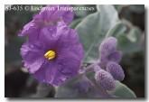 solanum-lasiophyllum-sj-635-copy