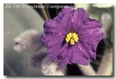 solanum-lasiophyllum-zz-745-copy