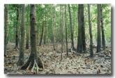 soneratiaceae-soneratia-alba-pornupan-mangrove-forest-pp-566-copy