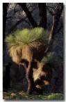 xanthorhoea-preissii-grass-tree-rb-111-copy