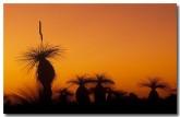 xanthorhoea-preissii-grass-tree-zr-383-copy