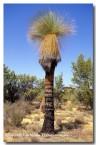 xanthorrhoea-thortonii-cundeelee-grass-tree-ah-653-copy