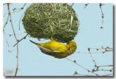 yellow-weaver-female-llj-649-web