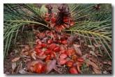 zamiaceae-macrozamia-reidlei-zamia-palm-yg-380-copy