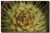 zamiaceae-macrozamia-reidlei-zp-358-copy