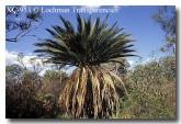 zamiaceae-macrozamia-riedlei-xc-933-copy