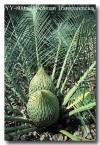 zamiaceae-macrozamia-riedlei-yy-800-copy