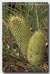 zamiaceae-macrozamia-riedlei-zp-353-copy