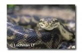 Carpet Python Morelia spilota imbricata FF-451 WEB 2