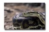 Carpet Python Morelia spilota imbricata FF-455  WEB 2pg
