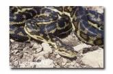 Carpet Python Morelia spilota imbricata FF-460 web 2