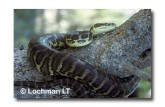 Carpet Python Morelia spilota imbricata FF-464 WEB 2