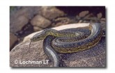Carpet Python Morelia spilota imbricata LD-309  WEB 2