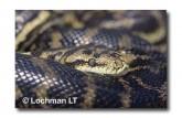 Carpet Python Morelia spilota imbricata LD-312WEB 2