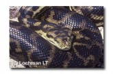 Carpet Python Morelia spilota imbricata LD-314 WEB 2jpg