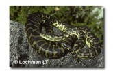 Carpet Python Morelia spilota imbricata LL-548  WEB 2jpg