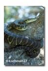 Carpet Python Morelia spilota imbricata MM-548 web 2