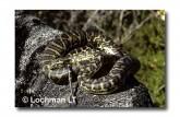 Carpet Python Morelia spilota imbricata YY-793 WEB 2