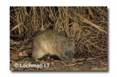 Northern Brown Bandicoot LM-976 WEB copy