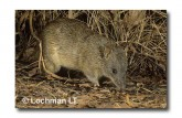 Northern Brown Bandicoot LM-982 WEB copy