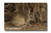 Northern Brown Bandicoot LM-985 WEB copy