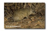 Northern Brown Bandicoot LM-986 WEB copy