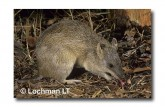 Northern Brown Bandicoot LM-992 WEB copy