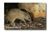 Northern Brown Bandicoot LM-998 WEB copy