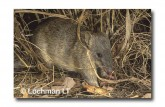 Northern Brown Bandicoot LMS-980 WEB copy