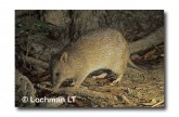 Northern Brown Bandicoot YA-060 WEB copy