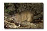 Northern Brown bandicoot LMS-933 WEB copy