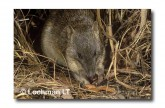 Northern Brown bandicoot LMS-979 WEB copy