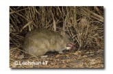 Northern Brown bandicoot LMS-984 WEB copy