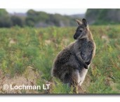 MAcropus rufogriseus Red-necked Wallaby AB-737 © Marie Lochman. copy