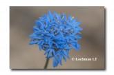 Brunonia australis Native Cornflower  ACD-574 WEB 2