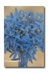 Brunonia australis Native Cornflower  ACD-575 WEB