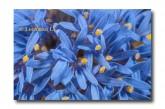 Brunonia australis Native Cornflower  ACD-580  WEB 2