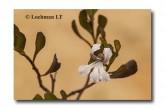 Coopernookia strophiolata  ACD-581  WEB 2