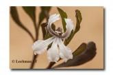 Coopernookia strophiolata  ACD-582  WEB 2