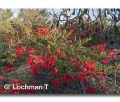 Lechenaultia hirsuta Hairy Lechenaultia ACD-778 web