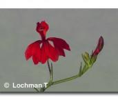 Lechenaultia hirsuta Hairy Lechenaultia LLK-433 web
