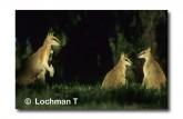 Agile Wallaby HH-846 © Wade Hughes Lochman LT