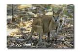 Agile Wallaby XJ-842 ©  Jiri Lochman LT