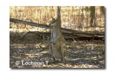 Agile Wallaby XJ-853  © Jiri Lochman Lochman Transparencies