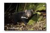 Tasmanian Devil PG-759 ©  Jiri Lochman LT