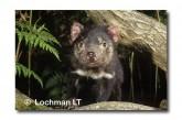 Tasmanian Devil PG-760 ©  Jiri Lochman LT