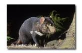 Tasmanian Devil PG-846 ©  Jiri Lochman LT