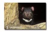 Tasmanian Devil PG-849 © Lochman Transparencies