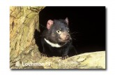 Tasmanian Devil PG-852 © Lochman Transparencies